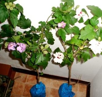 Piante ibisco siriaco pianta di fiori id 127781 for Subito it gorizia arredamento