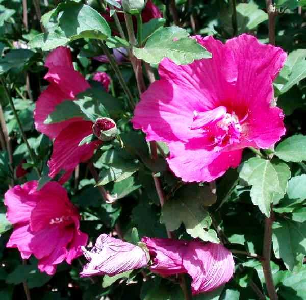 Piante ibisco siriaco pianta di fiori id 127781 for Ibisco in inverno
