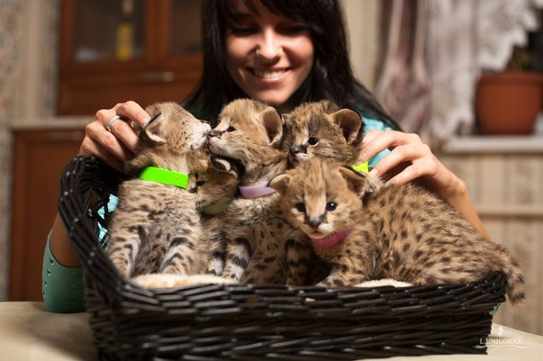Estremamente Savannah, serval, cuccioli di ghepardo, ID 148384 - dbAnnunci.it IQ09