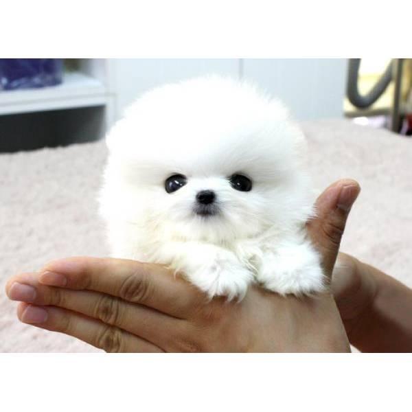 Bellissime cuccioli di pomeranian ID 155383 - dbAnnunci.it