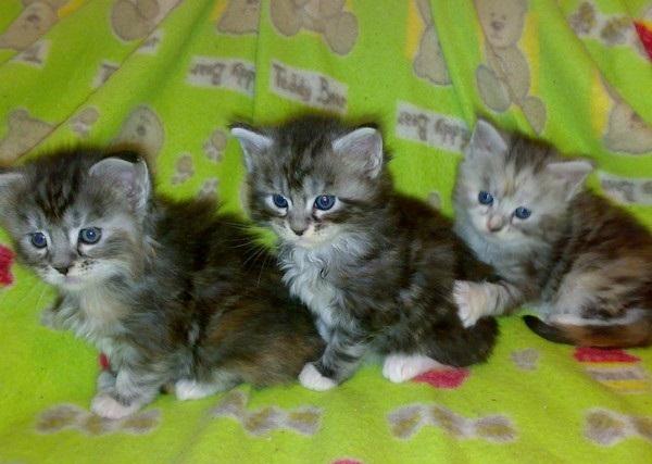 Regalo gattini di maine (foto 1)