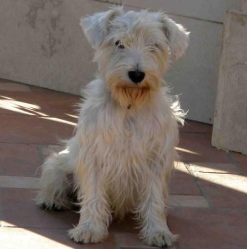 Cuccioli Di Schnauzer Nano Bianco Id 160678 Dbannunci It