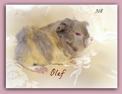 Cavia porcellino d 39 india a pelo id 171212 for Porcellino d india pelo lungo