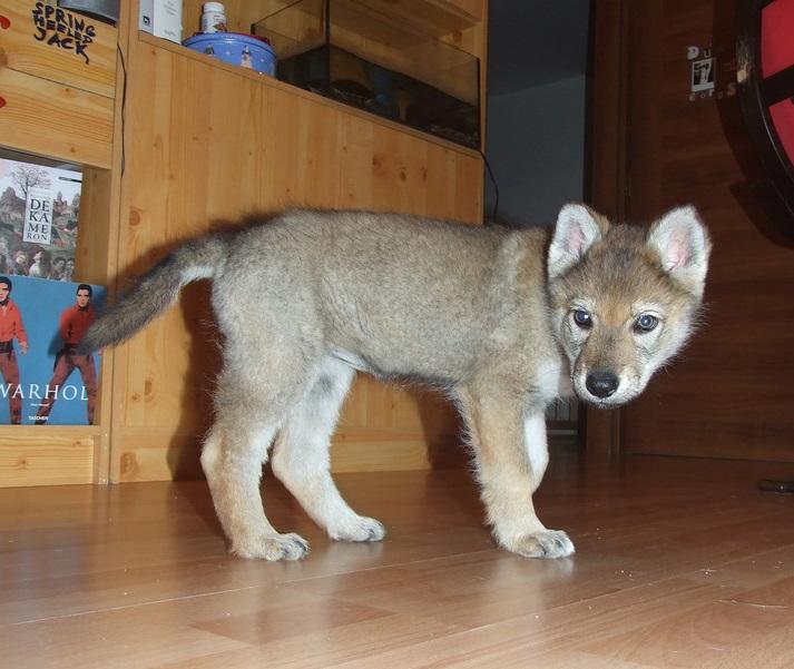 Regalo due cuccioli di lupo cecoslovacco id 178586 for Regalo annunci