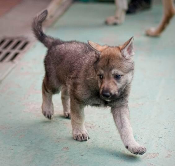 Regalo due cuccioli di lupo (foto 2)