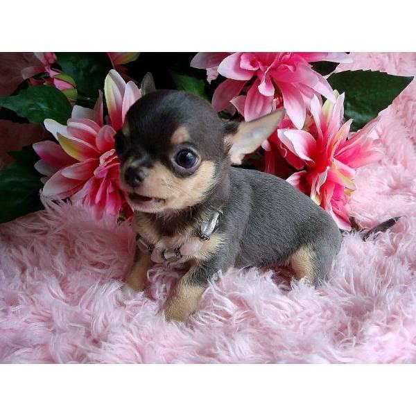 Chihuahua cuccioli in regalo id 206502 for Regalo a chi