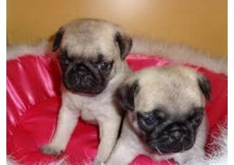 Adorabili cuccioli di Carlino