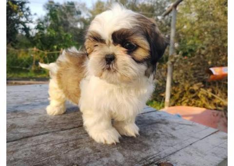 Magnifici cuccioli Shih tzu pronti per l'adozione