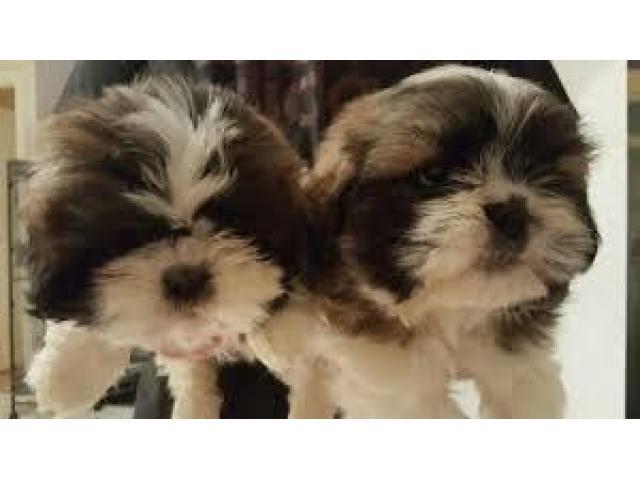 Magnifici cuccioli Shih tzu pronti per l'adozione - 2/3