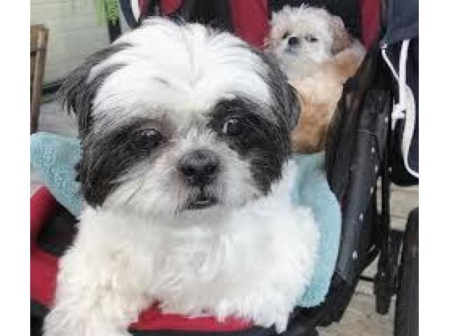 Magnifici cuccioli Shih tzu pronti per l'adozione - 3/3