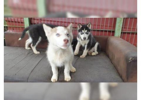 Cucciolo di razza Siberian Husky